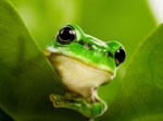 lime green frog