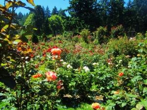 rose garden4