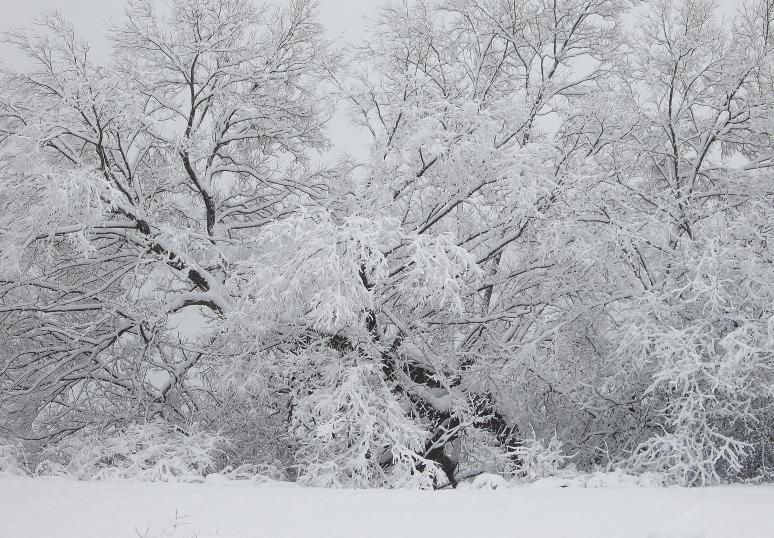 snow on willows