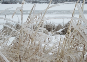 beautiful frozen grasses at river edge