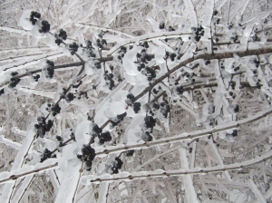 frozen elderberries