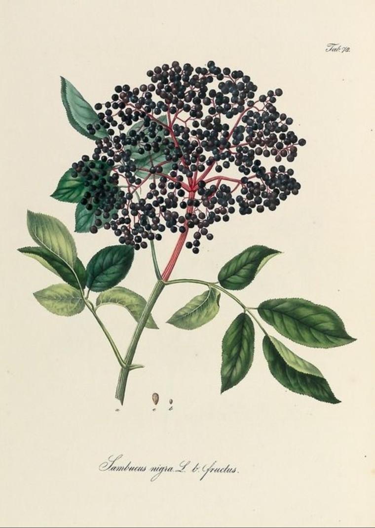 12. Elderberries from Pharmaceutisch - medizinische Botanik by Daniel Wagner, 1828-1830. Vienna.