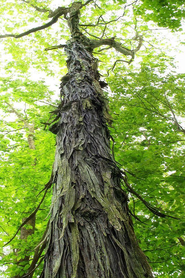 shagbark-hickory-hardwood_1